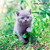Xavier, ANIMALS, REALISTISCHE TIERE, ANIMALES REALISTICOS, cats, photos+++++,SPCHCATS866,#a#, EVERYDAY