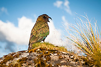 Endangered, native alpine parrot, kea on Alex Knob track, Westland National Park, South Westland, West Coast, South Island, New Zealand