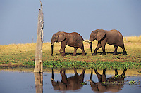 African Elephants walking along shore of Lake Kariba, Zimbabwe.