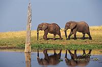 African Elephants walking along shore of Lake Kariba, Zimbabwe.