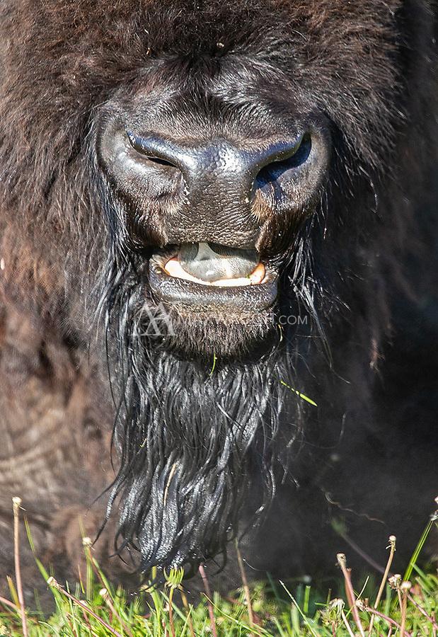A bull bison chews its cud.