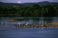 revoada de biguás (Phalacrocorax olivaceus) e garças em praia de areia formada nas secas do rio Guaporé <br />Reserva Biológica do Guaporé - RO