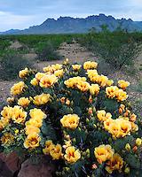 Pricklypear Cactus in bloom along the River Road below the Chisos Mountains; Big Bend National Park, TX