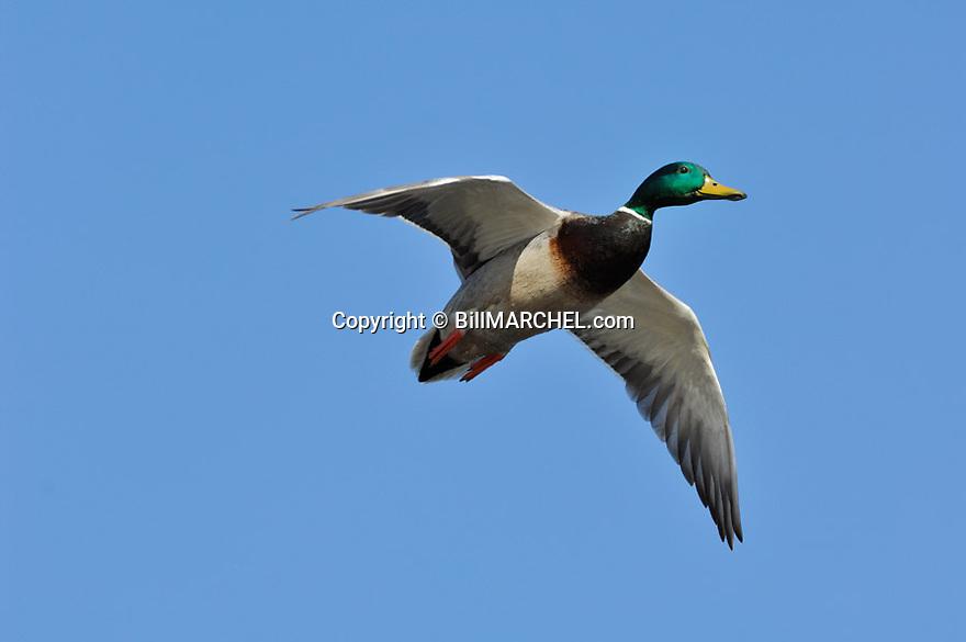 00330-081.15 Mallard Duck drake in flight against a blue sky.  Hunt, male, green, waterfowl, bird, action, fly, wetland, marsh.  H4R1