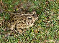 0602-0905  Fowler's Toad, Anaxyrus fowleri [syn: Bufo fowleri (Bufo woodhousii fowleri)]  © David Kuhn/Dwight Kuhn Photography