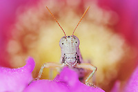 Grasshopper (Acrididae), adult on Strawberry Hedgehog (Echinocereus enneacanthus) blossom, Laredo, Webb County, South Texas, USA