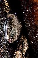 Watervleermuis (Myotis daubentonii)