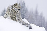 Snow Leopard (panthera uncia) watching intently over its should on the top of a hill in the snow near Kalispell, Montana, USA - Captive Animal