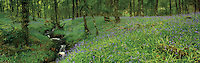 Bluebells on Loch Lomondside near Tarbet, Loch Lomond and the Trossachs National Park, Argyll & Bute<br /> <br /> Copyright www.scottishhorizons.co.uk/Keith Fergus 2011 All Rights Reserved