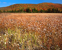 Cottongrass (Eriophorum virginicum) in fall color at Cranberry Glades Botanical Area; Monongahela National Forest, WV
