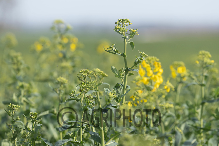 30-3--2021 OSR at stem extension stage <br /> ©Tim Scrivener Photographer 07850 303986<br />      ....Covering Agriculture In The UK....