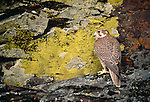 Prairie falcon, Columbia Plateau, Washington, USA