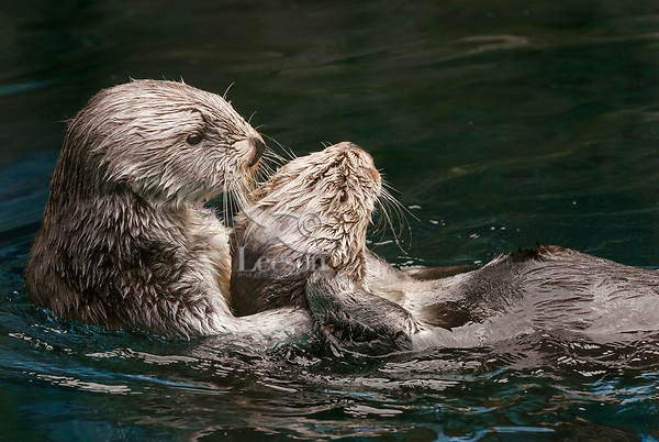 Two adult Sea Otters (Enhydra lutris) together.
