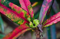 Ti (Cordyline fruticosa) Plant, 'Iao Valley State Monument, Maui, Hawaii, US