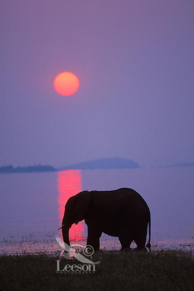African Elephant (Loxodonta africana) feeding along shore of Lake Kariba, Matusadona National Park, Zimbabwe.  Sunset.  Odd sunset caused by smoke from fires in Zambia.