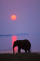 African Elephant (Loxodonta africana) feeding along shore of Lake Kariba, Matusadona National Park, Zimbabwe.  Sunset.  Odd sunset caused by smoke from fires in Zambia.