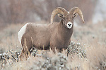 Portrait of a bighorn sheep ram as he travels through the snowy brush in Dubois, Wyoming.