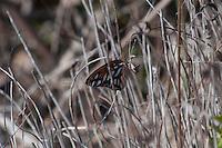 Monarch Butterfly (Danaus plexippus), Merritt Island National Wildlife Refuge, Titusville, Florida, US
