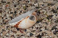 Herzmuschel mit Loch in der Schale, larvale Embryonalschale wurde durch die Brandung weggeschliffen, zurück bleibt eine Loch in der Wirbelregion, Cardium spp., Herzmuscheln, Cardiidae, cockles, cockle shells