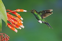 Glowing Puffleg (Eriocnemis vestita), adult feeding from flower,Papallacta, Ecuador, Andes, South America