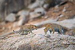 Male leopard (Panthera pardus) with one of its cubs / offsping on rocky outcrop. Jawai / Bera in Rajasthan, India.