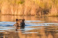 Brown bear wades in the Brooks River fishing for salmon, Katmai National Park, southwest, Alaska.