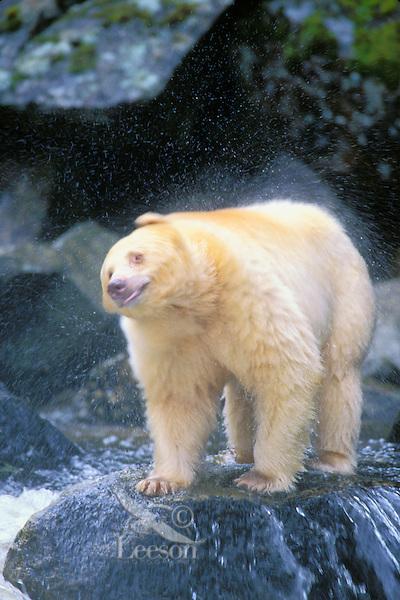Ma1225  Kermode Black Bear or spirit bear shaking off water while fishing for salmon.