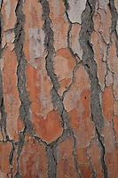 Pinie, Italienische Steinkiefer, Mittelmeer-Kiefer, Schirm-Kiefer, Schirmkiefer, Rinde, Borke, Stamm, Pinus pinea, Stone Pine, Italian Stone Pine, Umbrella Pine