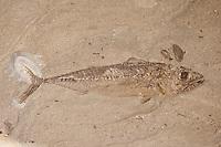 Versteinerter Fisch, Makrelenartiger Fisch, Fossil, Fossilien, Versteinerung, Versteinerungen, fossils, Moler von den Inseln Fur und Mors, Diatomit oder Kieselgur, Übergang vom Oberen Paläozän zum Unteren Eozän vor etwa 55 Millionen Jahren entstandenes Sedimentgestein, Limfjord, Dänemark