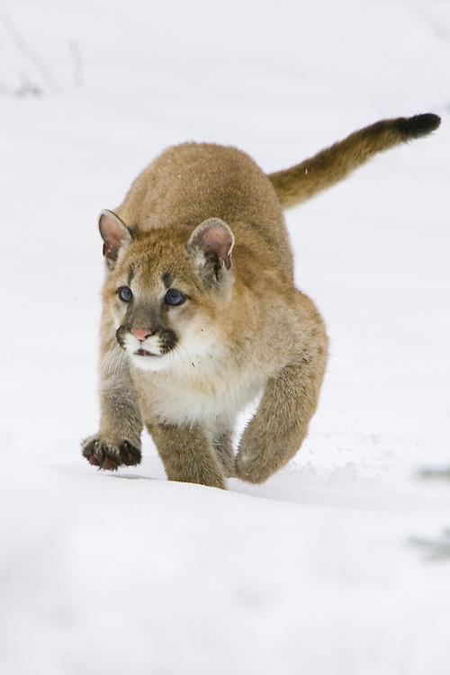 Puma kitten running across the snow - CA