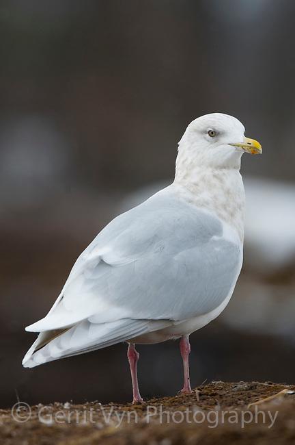 "Adult ""Kumlien's"" Iceland Gull (Larus glaucoides kumlieni) in basic (winter) plumage. Tompkins County, New York. December."