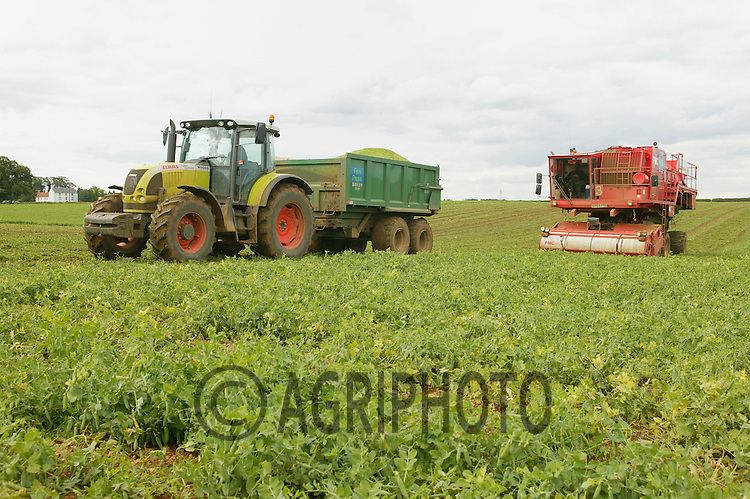Vining Peas In Lincolnshire