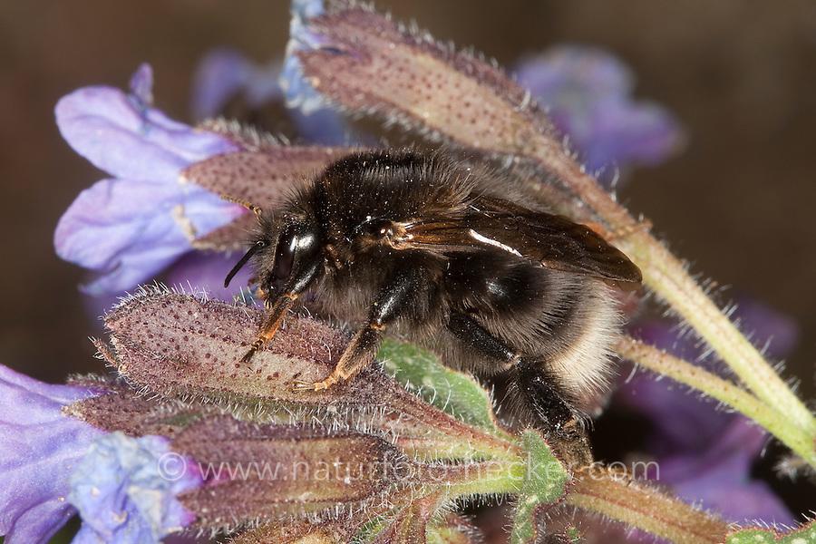Baumhummel, Baum-Hummel, dunkle Form, an Lungenkraut, Bombus hypnorum, Pyrobombus hypnorum ericetorum, Psithyrus hypnorum, new garden bumblebee, tree bumblebee