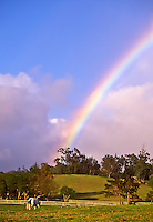 A white horse grazes in a sunny pasture in Makawao, Maui, with a rainbow overhead.