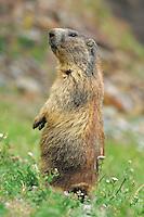 Alpine Marmot (Marmota marmota), adult standing, Saas Fee, Valais, Switzerland