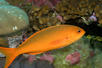 Juvenile/Intermediate Pacific Ocean Creolefish Paranthias colonus Clipperton Island France - Mexico