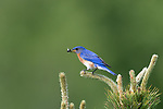 Male eastern bluebird with an insect in his beak