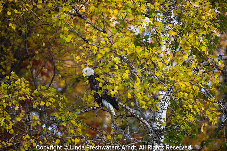 A bald eagle watching for an opportunity to feed on a dead whitetail next to the highway.