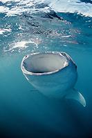 Whale shark, Rhincodon typus, feeding, Djibouti, Djibuti, Africa, Afar Triangle, Gulf of Aden, Gulf of Tadjourah, East Africa