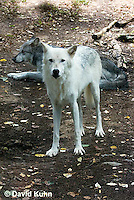 0823-1013  Pair of Wolves, Gray Wolf (Grey Wolf) with White Colored Coat, Canis lupus  © David Kuhn/Dwight Kuhn Photography