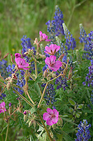 Silver Lupine (lupinus argenteus) and Sticky Geranium (Geranium viscosissimum) take center stage. The Sticky Geranium flowers and leaves are edible, but reported to be astringent and unappealing. Blackfeet Indians used an infusion from this plant to treat diarrhea and gastric upset and urinary irritations. The root of this plant is astringent and was dried and powdered and used by Native Americans to stop external bleeding.