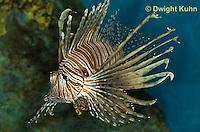 """TP03-511z  Red Volitan Lionfish """"Venomous Spines on Fish"""" - Pterois volitans"""