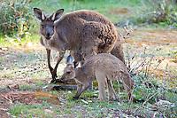 Western Grey Kangaroo w joey, Wilpena Pound, Flinders Range, SA, Australia
