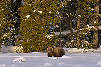 Grizzly Bear.  December.  Snow.  Rocky Mountains.  Wyoming.