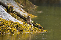 An adult north American river otter (Lutra canadensis) in Misty Fjords National Monument, southeast Alaska, USA., USA