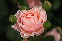 Rosa Twiggy's Rose ('Harteam'), a pink shrub rose from Harkness Roses (2010).