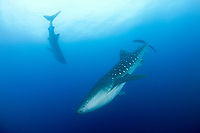 two whale sharks, Rhincodon typus, in the Gladden Spit & Silk Cayes Marine Reserve, off Placencia, Belize, Central America (Caribbean Sea)