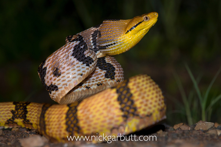 Adult Dog-toothed Cat Snake (Boiga cynodon) in aggressive posture. Danum Valley, Sabah, Borneo.