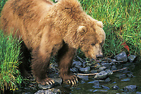 Female Kodiak brown bear fishes along stream edge, Kodiak, Alaska