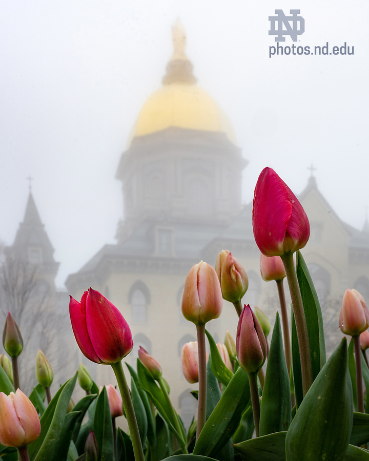 April 8, 2020; Tulips in front of the Main Building on a foggy morning (Photo by Matt Cashore/University of Notre Dame)